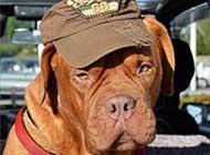 戴帽子的波尔多犬高清图篇