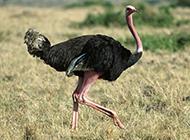 健壮高大的非洲鸵鸟图片