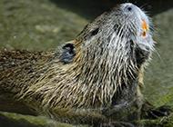 最大的海狸鼠图片欣赏