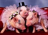 可爱搞怪的小猪写真集