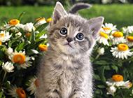 英国虎斑猫卖萌图片壁纸