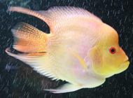 观赏鱼黄鹦鹉鱼图片欣赏