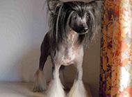 中国冠毛犬小巧可爱图片