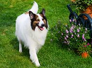苏格兰牧羊犬公园散步大图