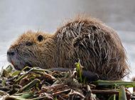 广西海狸鼠实拍图片欣赏