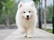 欢乐飞奔的萨摩耶犬图片