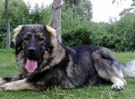 成年高加索犬草地上休息图片