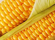 金黄色玉米诱人的高清桌面壁纸