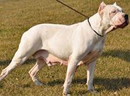 白色杜高犬狗狗怀孕图片