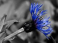 超梦幻蓝色矢车菊唯美意境图片