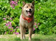 柴犬开心玩耍户外图片