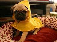 调皮可爱的巴哥犬唯美图片欣赏