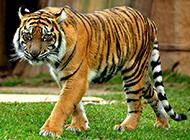 沉稳霸气的森林野兽孟加拉虎图片