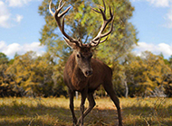 山林漫步的唯美麋鹿图片
