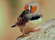 机灵小巧的珍珠鸟图片