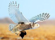凶猛动物雪鸮捕食图片