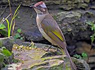 中国野生鸟类领雀嘴鹎图片
