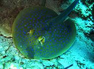 海鳐鱼埋于水底沙中图片