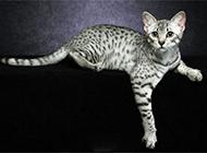 埃及猫图片神态慵懒可爱