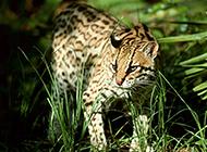 纯种孟加拉豹猫野外栖息图片