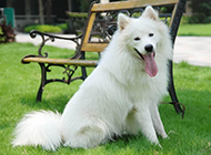 萨摩耶犬可爱顽皮图片