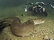 近距离拍摄巴西水蟒 体长超八米维度骇人