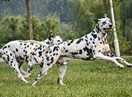 活力四射的大麦町犬图片