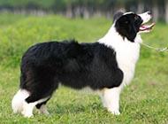 比利时牧羊犬图片