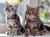 小猫咪瞩目凝望高清图片
