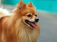 棕色纯种博美犬特写图片欣赏