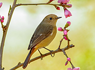 北红尾鸲雌鸟唯美图