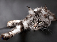 慵懒伸腰的缅因猫图片