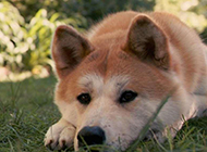 郁郁寡欢的成年秋田犬图片