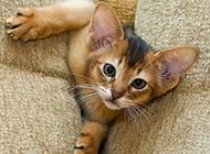 埃及猫调皮捣蛋图片