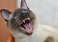 现代暹罗猫惊恐表情图片