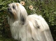 拉萨犬图片可爱造型迷人优雅