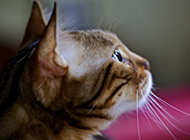 可爱缅因猫侧颜图片
