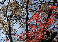 秋意深浓一丛火红高清精选壁纸