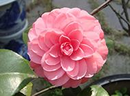 高清春天粉红山茶花风景壁纸
