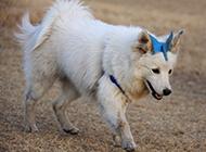 白狐狸犬户外欢乐玩耍图片
