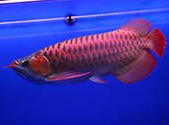 身价高贵的帝王血红龙鱼图片