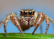 户外常见昆虫蜘蛛微距特写图片