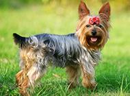 呆萌迷人的狗狗约克夏图片