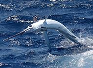 海上被捕的银剑鱼图片