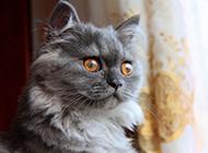 蓝色金吉拉猫图片帅气模样萌翻众人