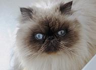 生气的喜马拉雅种猫图片