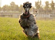 阿富汗猎犬奔跑图片大全