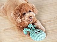顽皮爱闹的玩具贵宾犬图片