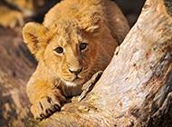 凶猛野生动物狮子图片