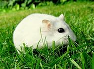 小白鼠草地玩耍图片